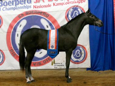 ABAGDA KORDAAT  - Universal Champion Junior Stallion<br>