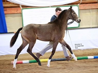 JANIC NANDI - Universal & Tradition Champion Filly under 12 months<br>