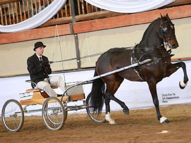 CALELA RIETBOK  - Traditional Champion Single Harness Horse under 5 years <br>