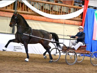 BOSCHENDAL HOOGMOED  - Traditional Champion Single Harness Horse 5 years & older <br>