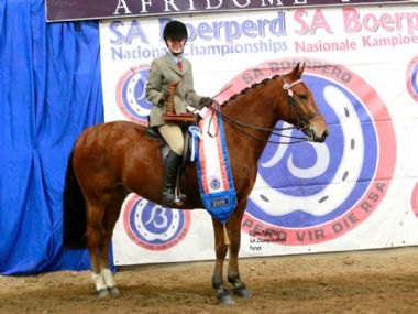 PAARDEKOP TOFFIE  - Universal 3 Gaited Junior Riding Horse