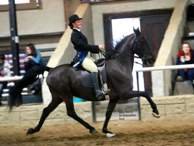 SAMJAK MINISTER  - Traditional 5 Gaited Junior Riding Horse
