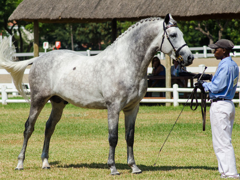 Carel Hancke Roebyn - CHAMPION SA BOERPERD STALLION<BR>