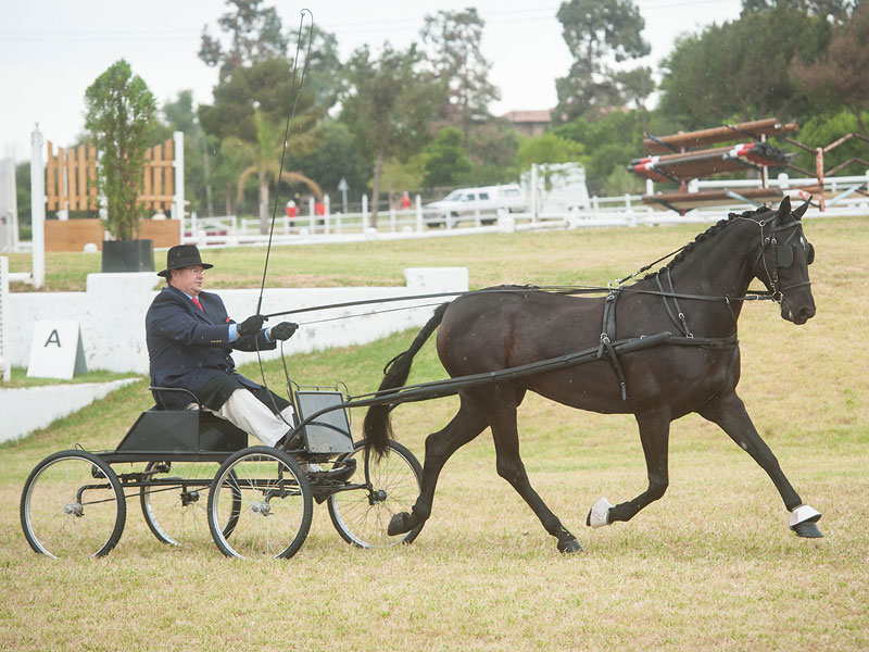 Rooigras Sierlik - CHAMPION SINGLE HARNESS HORSE<bR>