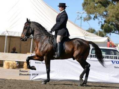 SAB Krog No Doubt - Traditional 3 Gaited Champion<br>
