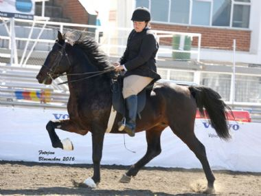 Samjak Namib - Traditional 5 Gaited Champion Riding Horse<bR>