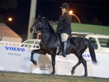 Samjak Matroos - Traditional 3 Gaited Champion Show Horse<bR>