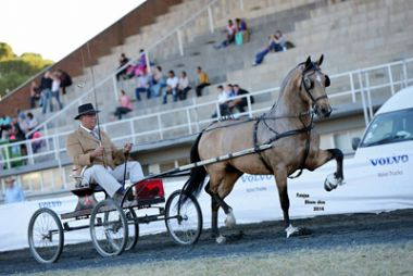 Fyntrap Kaptein - Traditional Champion Single Harness Horse 5 Years and Older, Driver: J. Kleynhans, Owner: Fyntrap Stud