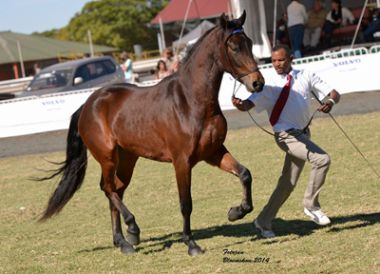 Winter Night Victoria - Traditional Supreme Champion Mare, Exhibitor: A. Ntsako, Owner: Winter Night Stud