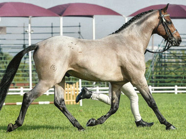 SA Boerperd Horse of the Year