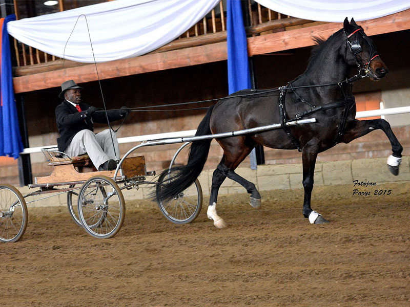 Calela Rietbok - Traditional Champion Single Harness Horse under 5 Years; Driver: Samson Masina; Owner: Jacobsz Family, Davel