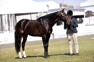 LANG-CAREL VICEROY - Universal Supreme Champion Stallion<br>