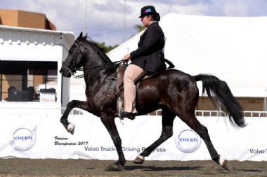 LODIKTA NAPOLEON - Traditional Supreme Champion Gelding<br>