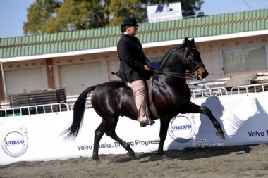SAMJAK MATROOS - Elite  5 Traditional Champion 3 Gaited Riding Horse, 5 years & older<br>