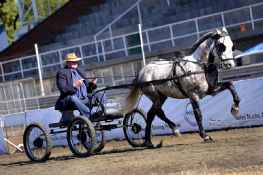 GOUDHOEK FILISTYN - Traditional Champion Single Harness Horse Open<br>