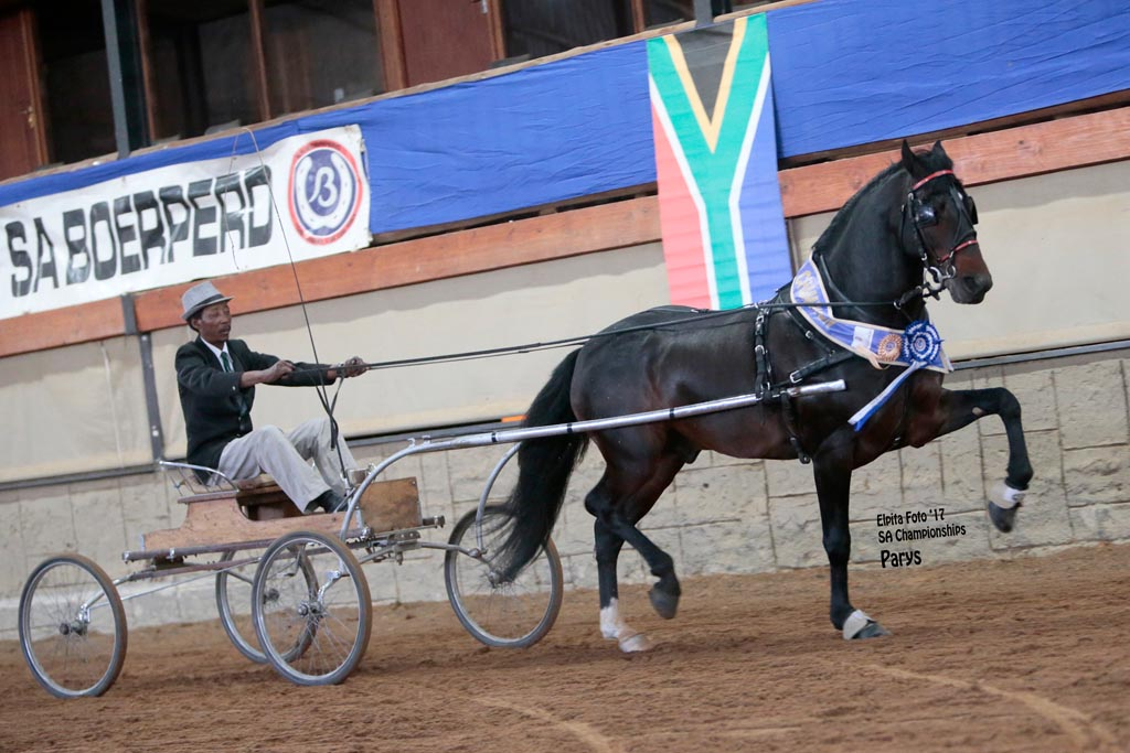 CALELA RIETBOK  - T- ELITE 5 - CHAMPION SINGLE HARNESS HORSE 5 YEARS AND OLDER<br>